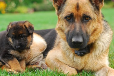 dogs-german-shepherds-funny