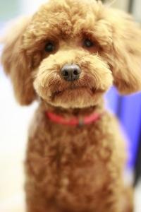Teddy Bear Cut Dog Hair